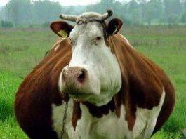 O olho do dono engorda a vaca